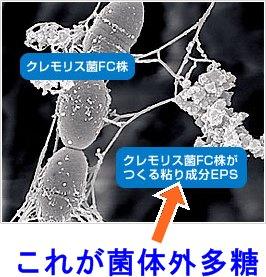 クレモリス乳酸菌のねばり成分