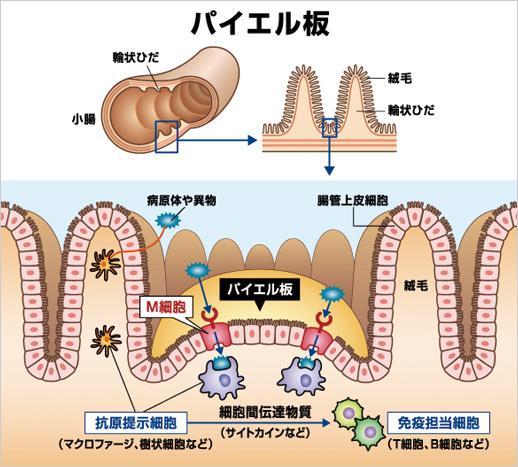 パイエル板と免疫